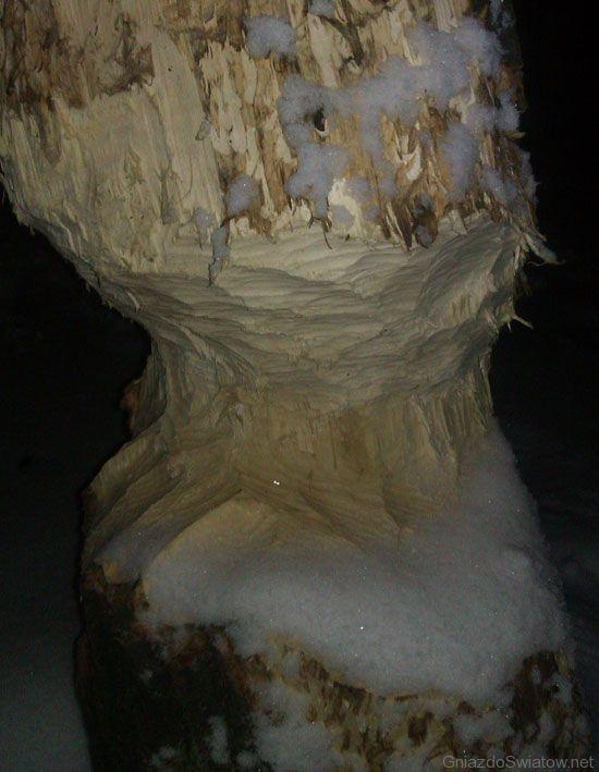 Drzewo podcięte przez bobra. Fot. Marcin